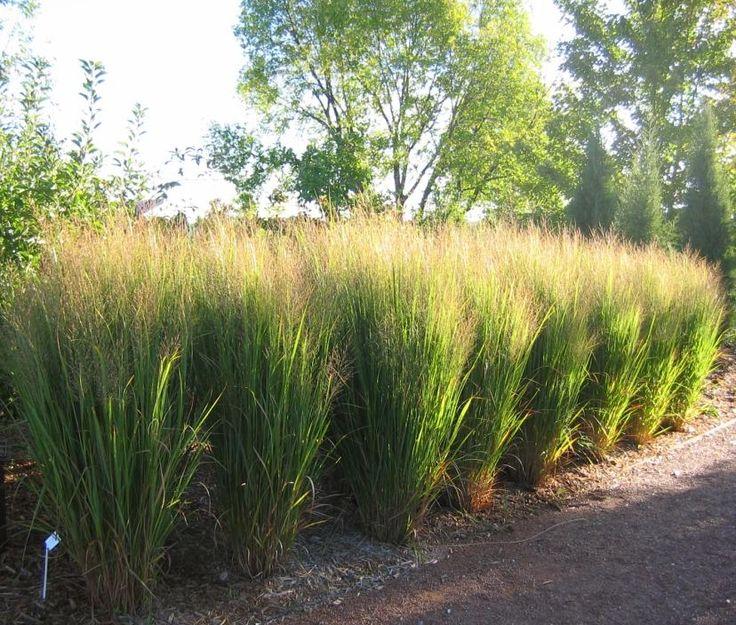 867 best ornamental grasses images on pinterest backyard for Red ornamental grasses perennial