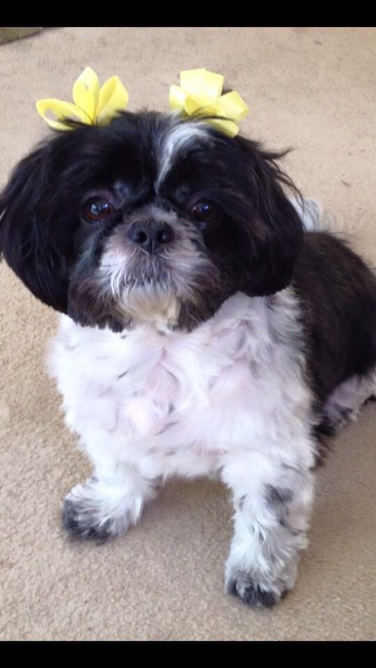 cute shih tzu names 1000 images about shih tzu mom on pinterest names best 1061
