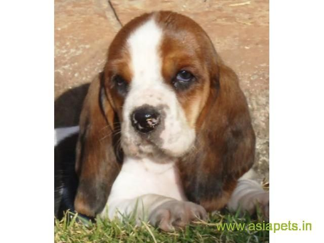 Basset Hound Puppies Price In Indore Basset Hound Puppies For Sale In Indore Hound Puppies Basset Hound Puppy Puppies For Sale