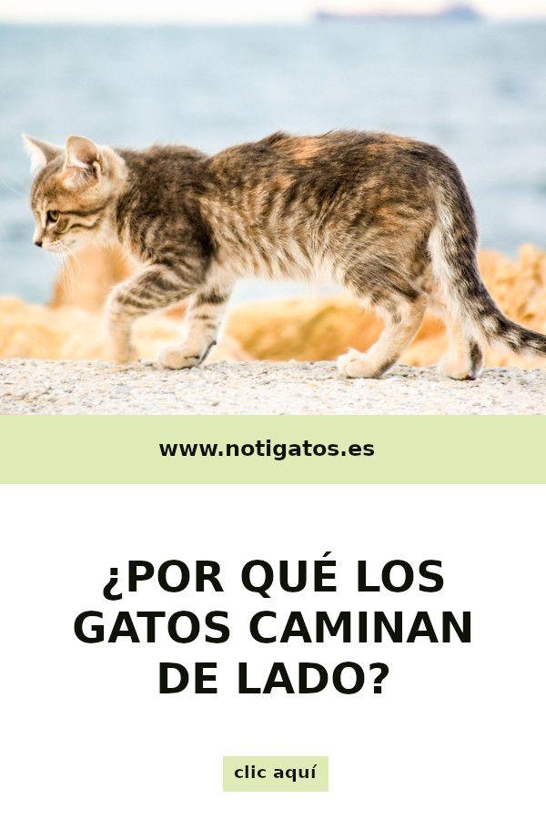 Por Qué El Gato Camina De Lado Gatos Felinos Felino