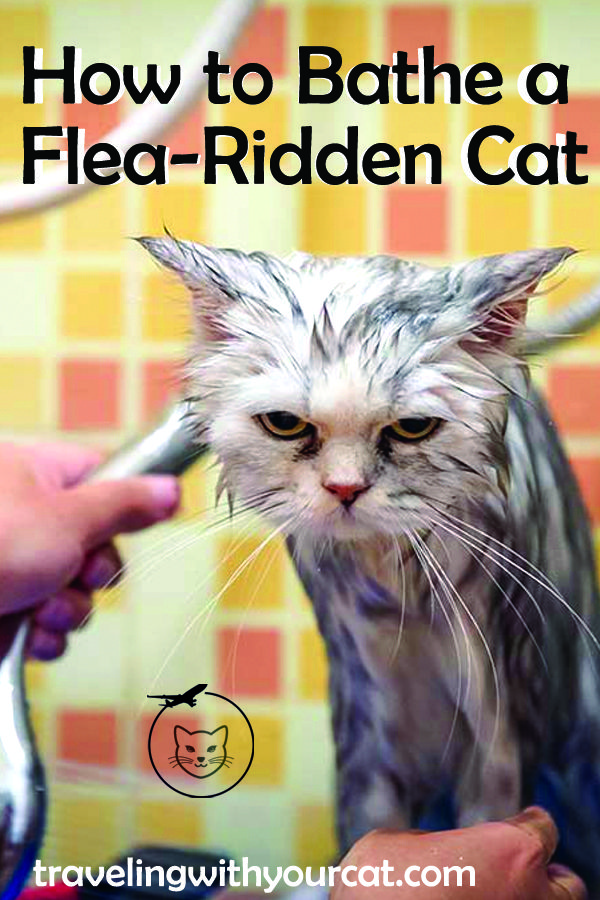 How To Bathe A Flea Ridden Cat Fleas Cat Bath Cats