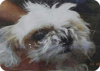 Oakland Park, FL - Shih Tzu Mix. Meet Benji, a dog for adoption. http://www.adoptapet.com/pet/16998162-oakland-park-florida-shih-tzu-mix
