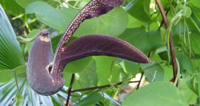 Seeds of this beautiful tropical tender perennial vine called Aristolochia Galeata. This exotic vine in the dutchman's pipevine family is hardy in zones 8a-10b and blossoms best in light shade and will stay evergreen all year in the above zones. A real attraction with its hugh 8 inch blossoms that seem to appear overnight. The plants will grown up to 12 feet if let climb on a structure.