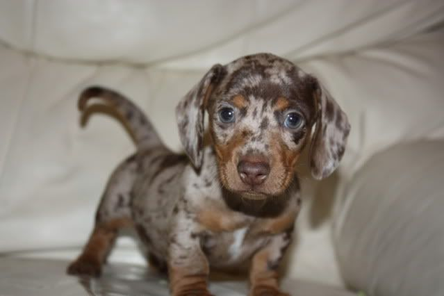 mini chocolate dapple dachshund puppies for sale | Zoe Fans Blog