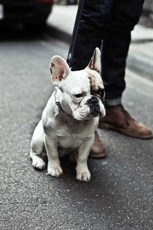 frenchie: Puppies, Friends, French Bulldogs, Small Dogs, Men Style, Pets, Frenchie, French Bull Dogs, Animal