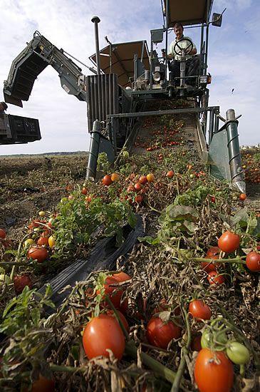La raccolta dei pomodori Mediterranea Belfiore