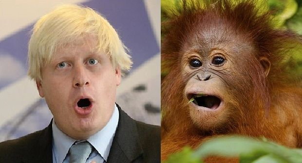 Orangutans that look like Boris Johnson