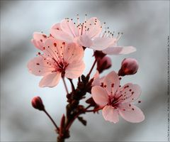 Photos dans le plus de favoris Cerisier Du Japon Japanese Cherry (Prunus serrulata) wallpaper nature