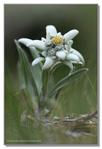 edelweiss à Pralognan la Vanoise;  When I was in Austria with my parents we hiked up the mountain and I saw my first edelweiss...my favorite trip with them :)