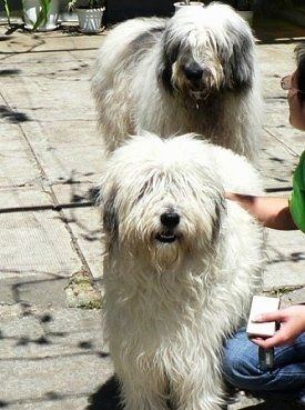 Two long-coated, Mioritic Sheepdogs are standing on a walkway and there is a person in a green shirt petting the dog in the front.