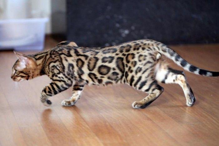 13 Intelligenteste Katzenrasse Der Welt Bengal Kitten Cat