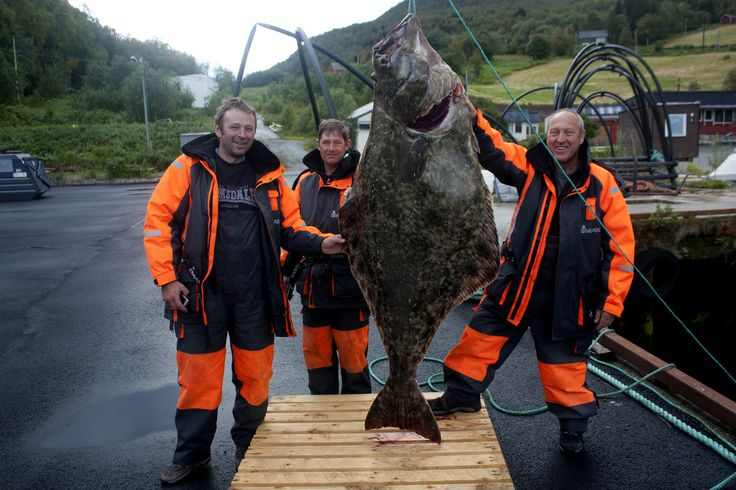 Halibut record,  caught by Paul Ray