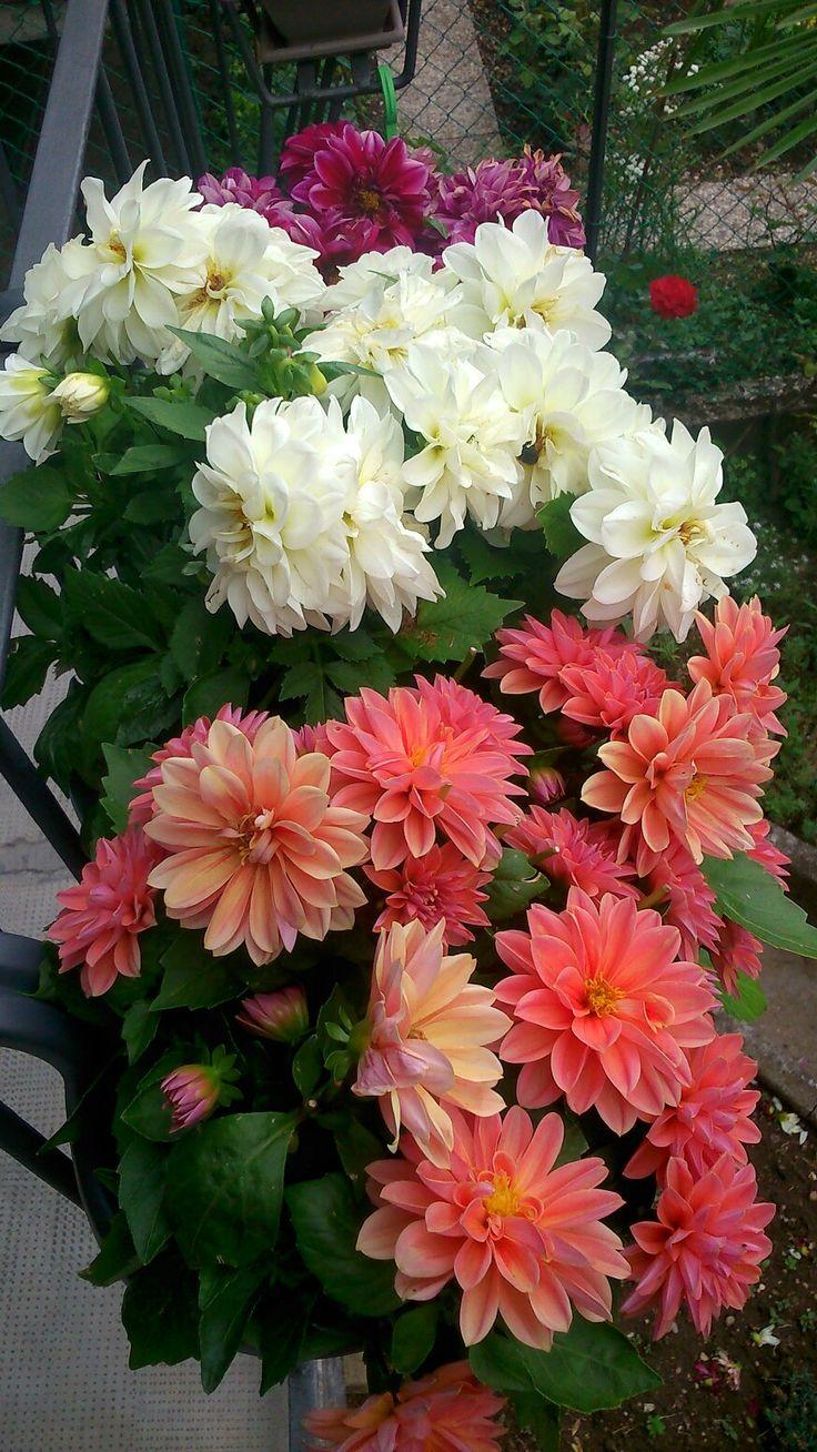 Dalia flower at home