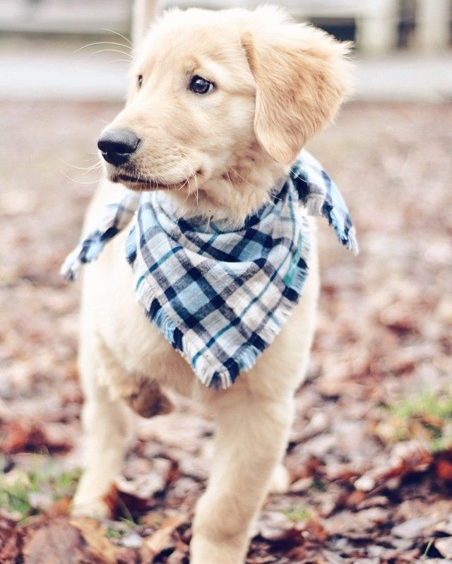 Chance, the 3 legged Golden Retriever puppy