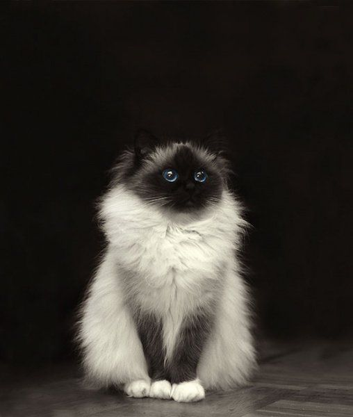 15 Fluffiest Kitties in the World - Cats Tips & Advice | mom.me