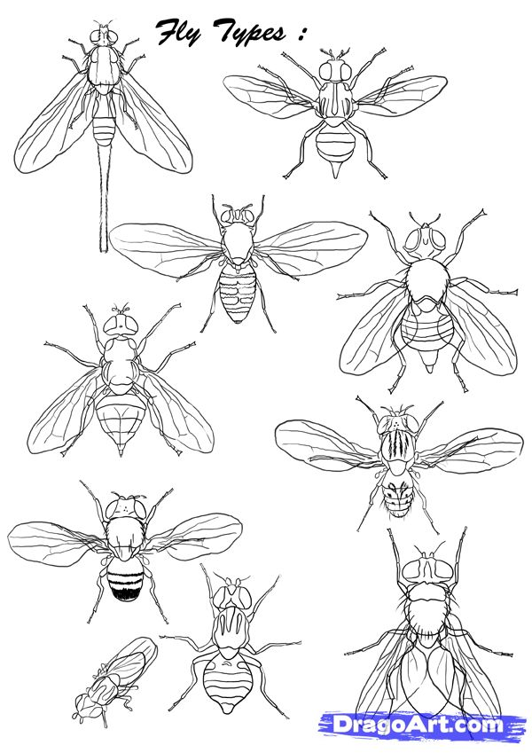 How to Draw Flies, Step by Step, Bugs, Animals, FREE Online ...