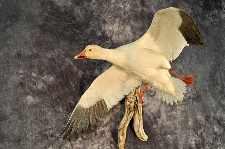 Snow Goose Taxidermy Exquisite bird taxidermy