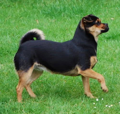 Sammy (Cairn Terrier/Jack Russel x Pug/Chihuahua Mix) | Mischlings-Foto-Domino - Page 9 - Sonstiger Talk rund um den Hund - DogForum.de das große Hundeforum