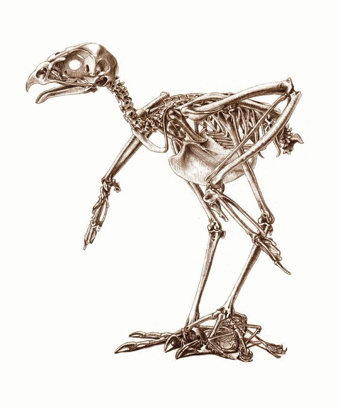 Skeleton of a Sparrowhawk, with a skeleton of a Blue Tit, by Katrina van Grouw.