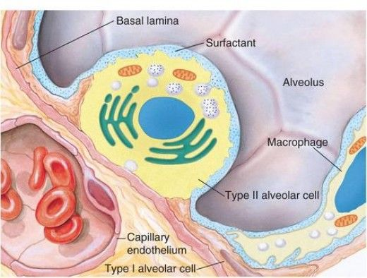 Surface tension increases the tendency of the alveoli to collapse. Surfactant decreases the surface tension in the lungs and thus decrease the work of breathing, minimizes collapse and  oedema.