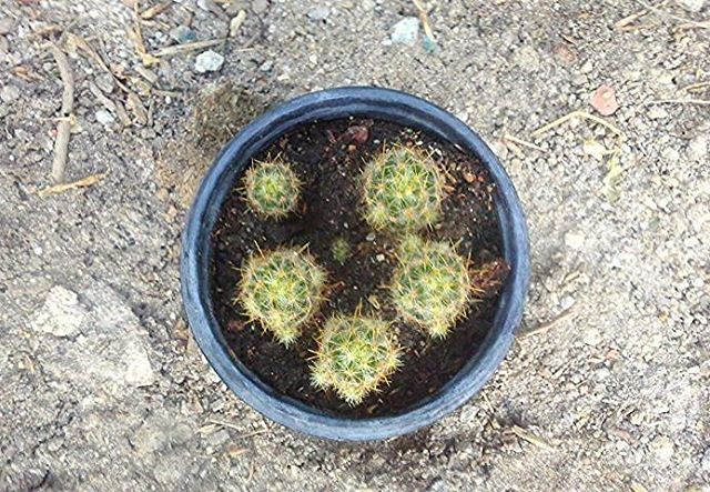 Mammillaria prolifera Origem: Nordeste do México, Texas, Cuba e Haiti. Cactus formando grupos de vários indivíduos. A planta brota abundantemente a partir da base, formando verdadeira tapeçaria de até 60 cm de diâmetro. Corpo globular verde escuro...