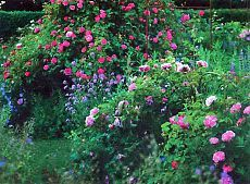При выборе места для посадки роз избегайте ошибок   Дача - впрок
