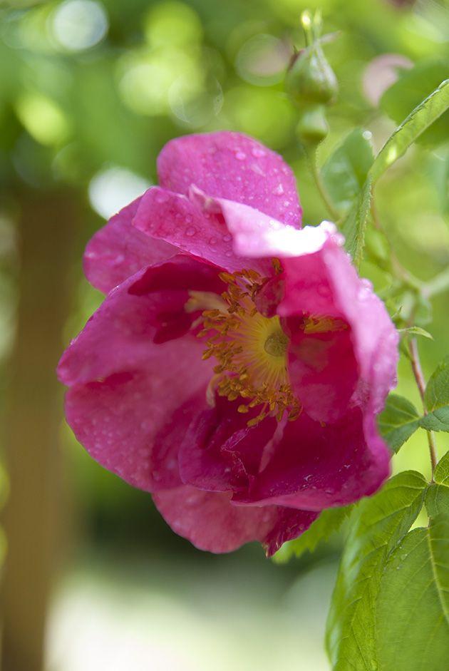 Valamonruusu – Rosa 'Splendens' (valamoros)