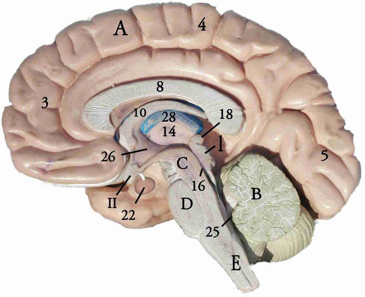 The 41 Best Anatomy Brain Images On Pinterest Anatomy Anatomy