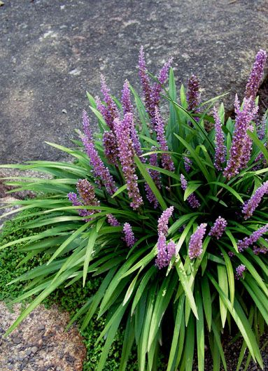 Liriope muscari. Easy to grow, and spreads. Good for lining sidewalks.  The flowers are a pretty shade of purple. Bees and butterflies like them. In winter, they produce interesting large seeds. - Ali R.