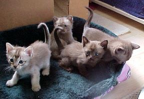 Burmilla Kitten Photos