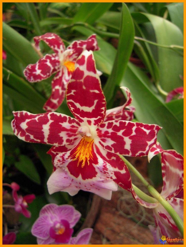 Photo : Orchidée - Cambria