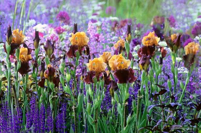 Garden Ideas, Border ideas, Perennial Planting, Perennial combination, Summer Borders, Iris Supreme Sultan, Nepeta Walker's Low, Allium Purple sensation, Salvia Mainacht, Phlox Blue paradise