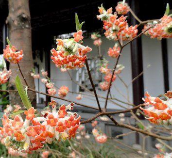 Edgeworthia chrysantha 'Akebono' 3 flower