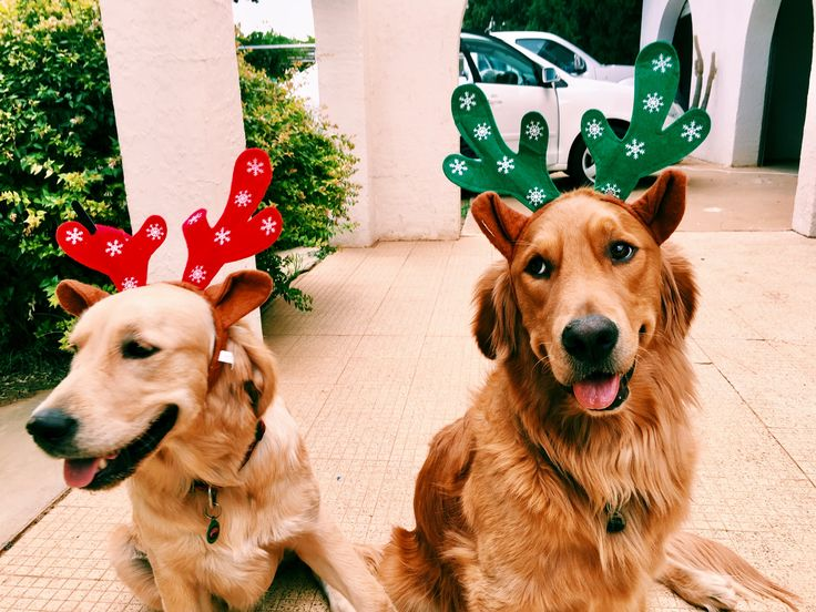 Christmas 🎄 Festive Goldens