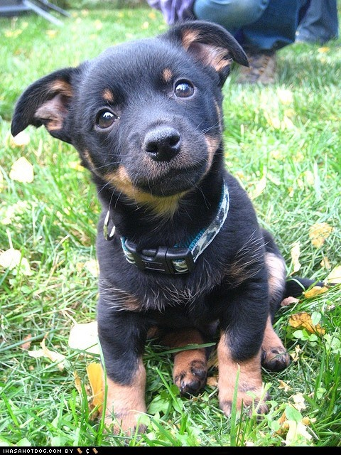 Goggie ob teh Week: Precious Puppy- The Lancashire Heeler has humble origins in England as a general purpose farm dog, capable of both ratting and herding cattle.