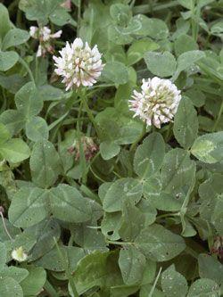 jetel plazivý - Trifolium repens | Květena České republiky - plané rostliny ČR | www.kvetenacr.cz |