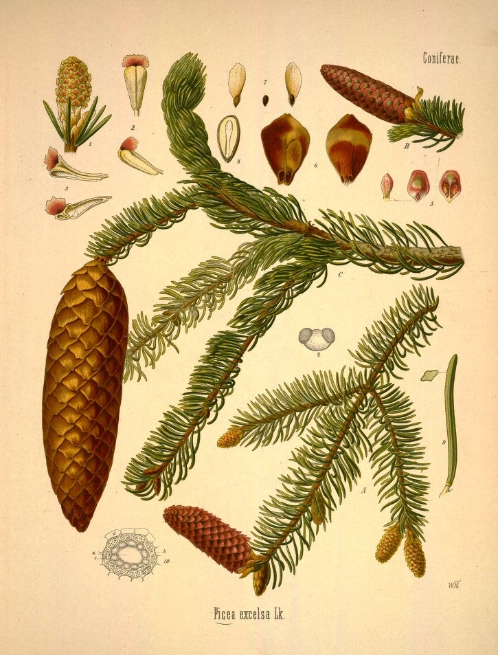 Susun Weed article on medicinal uses for pine