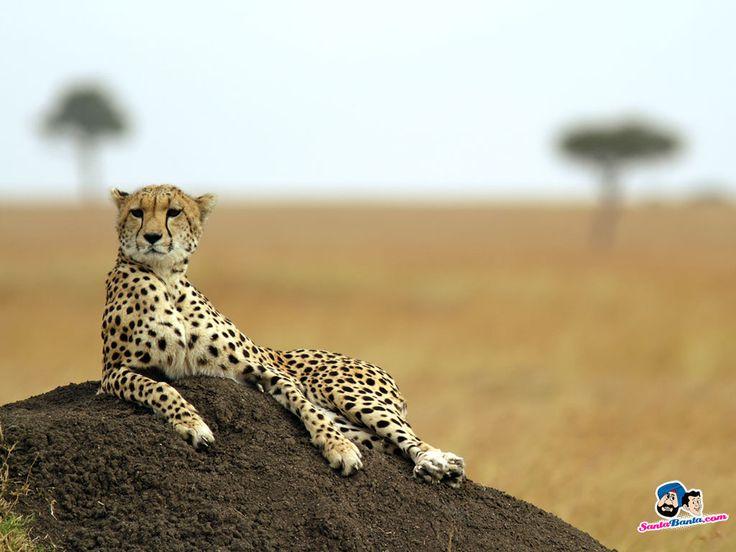 Foyer Wallpaper Kenya : The best cheetah wallpaper ideas on pinterest closet