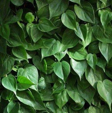 Philodendron scandens, heartleaf plant