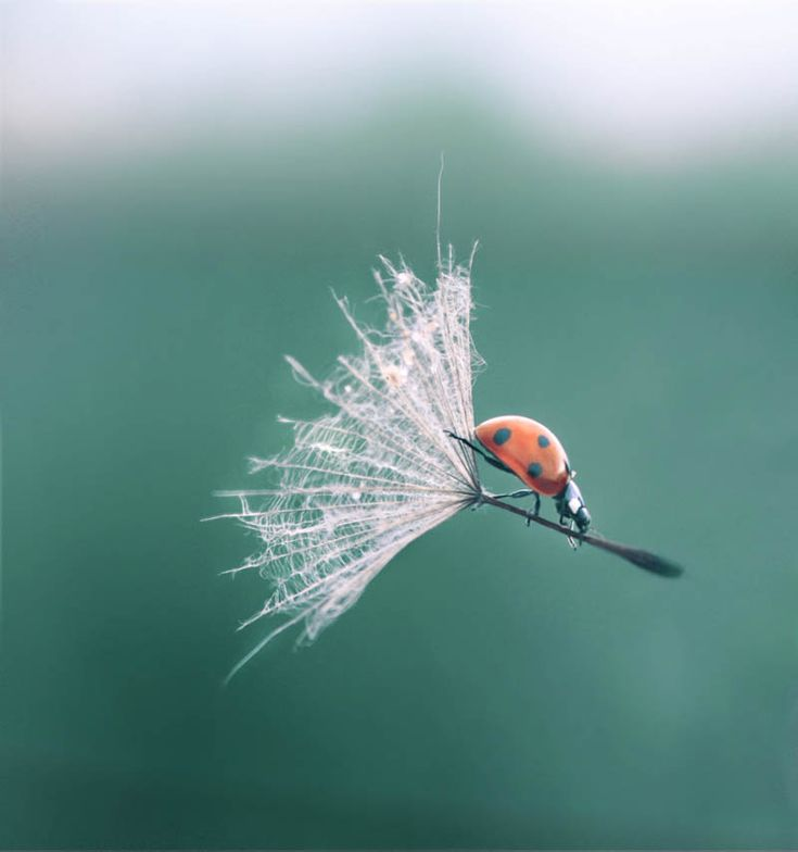 This is how a ladybug rolls