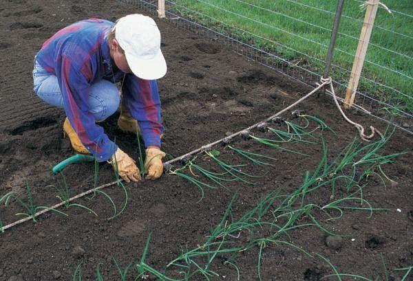 Выращивание лука рассадой.