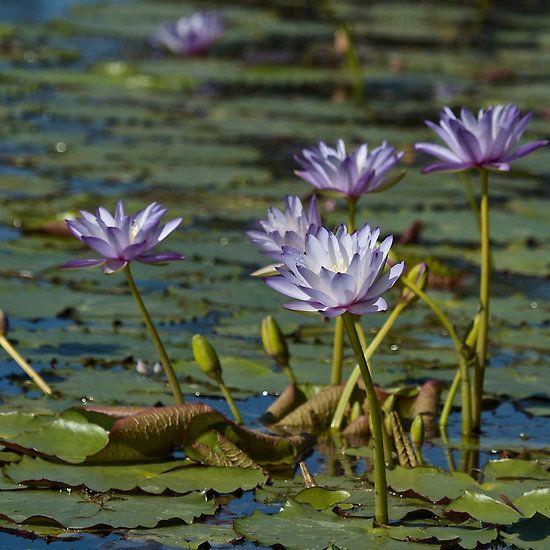Lotus lovelies