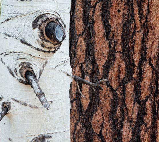 Заинтересовать зрителя может даже такой простой сюжет, как контраст текстур коры двух деревьев.