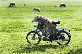 Risultati immagini per pecore divertenti