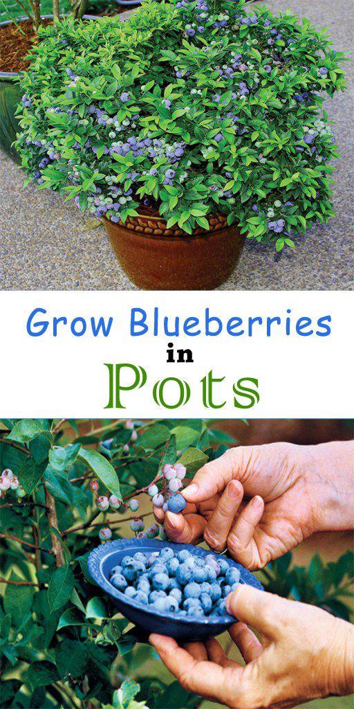 Grow Blueberries in Pots