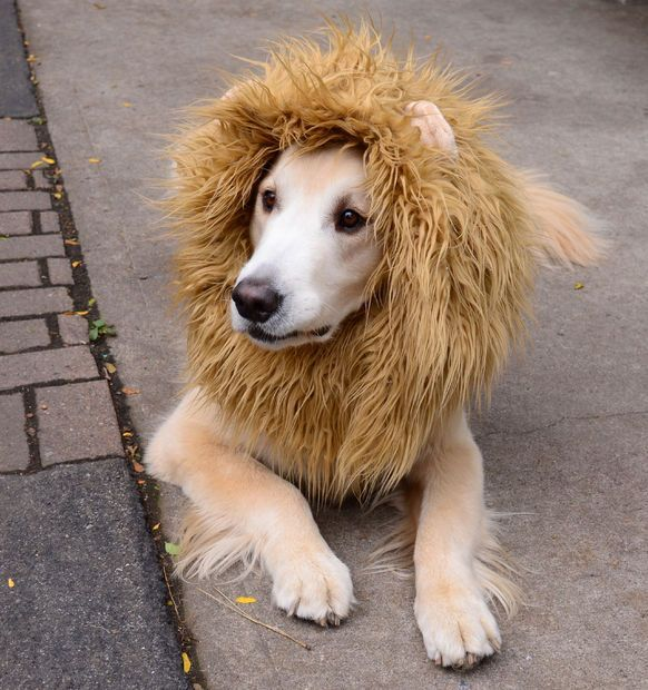 Another awesome DIY dog Halloween costume! Unleash your pup's inner lion.