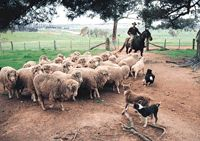 Australian Sheep Herding is a marvel to see.