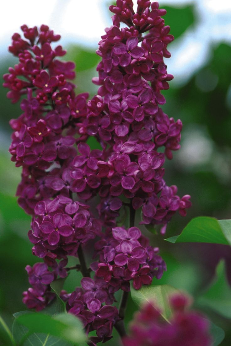 Extend your lilac season with this gorgeous late bloomer! The Ludwig Spaeth #Lilac will be covered with huge clusters of beautiful deep reddish-purple blooms in early June. It grows 10-12 feet tall and 6-8 feet wide in zones 3-7. It will tolerate some shade, but #blooms best in full sun. What are you waiting for? Add this beauty to your #garden this year! #plantsmakepeoplehappy…