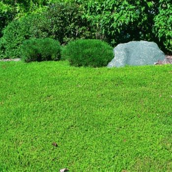 Alternative To Gr Green Carpet Herniaria Glabra Drought Tolerant Rarely Flowers Sun Or Shade Handles Foot Traffic Landscaping Ideas Pinterest