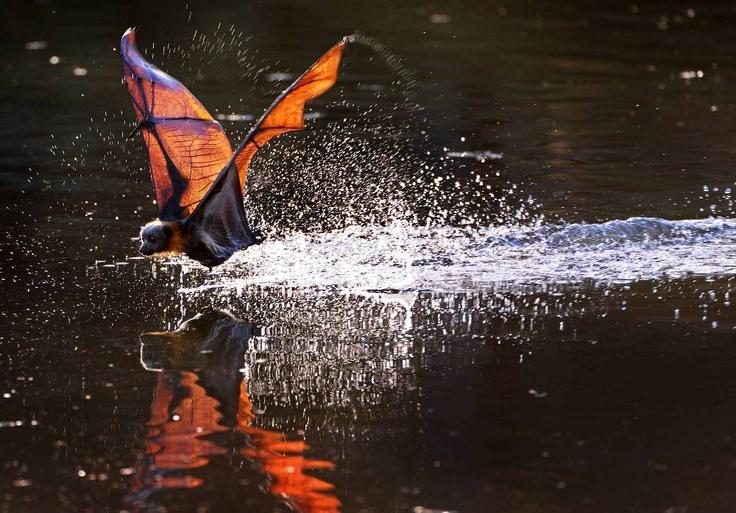 Grey-Headed Flying Fox, Australia